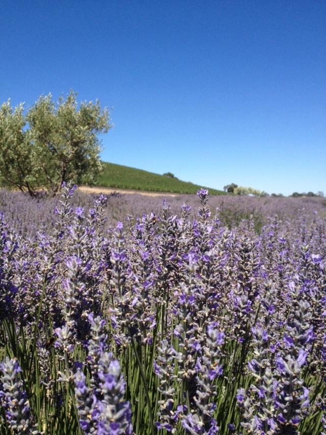 Lavender field at Niner Wine Estates