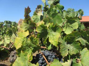 Head pruned Zinfandel vines dominate Henderlong Vineyard, which has been in Lee Nalle's family since 1927.