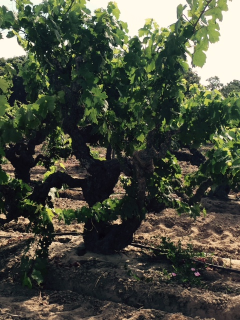 A neraly 100 year old Zinfandel vine--this one from the Schmiedt Vineyard