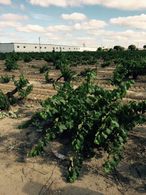 In the distance, you can see how industry has crept right up to the edge of these 100 year-old vines.