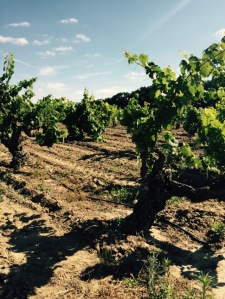 Nearly 100-year old vines in the Schmiedt Vineyard, groomed and ready for business.