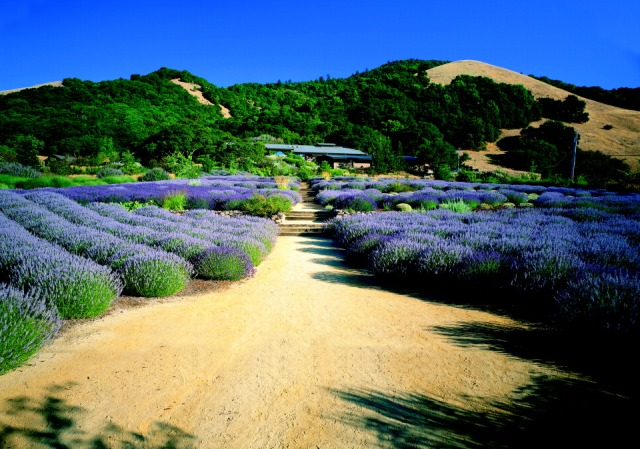 Winery and Lavender Field (WebLowRes)